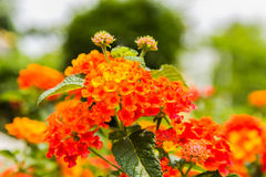 Beautiful Colorful Hedge Flower, Weeping Lantana Stock Photography