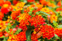 Beautiful Colorful Hedge Flower, Weeping Lantana Stock Images