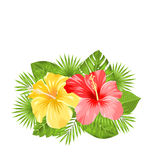 Beautiful Colorful Hibiscus Flowers Blossom and Tropical Leaves Stock Image