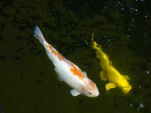 Beautiful koi fishes in a pond. stock footage