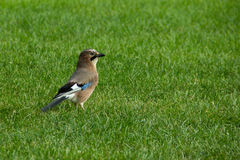 Beautiful colorful jay Stock Images