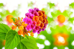 Beautiful colorful Lantana camara flower on blur background, clo Stock Photos