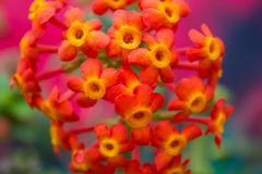 Beautiful colorful lantana flower Royalty Free Stock Photos