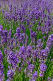 Beautiful and colorful lavender plant full of flowers. Beautiful and colorful lavender aromatic plant full of flowers stock images