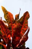 Beautiful colorful leaves of Codiaeum variegatum close-up. Exotic plants Royalty Free Stock Photo