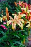 Llies in the garden. Royalty Free Stock Photos