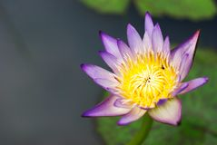 Beautiful colorful lotus in natural pool Royalty Free Stock Photo