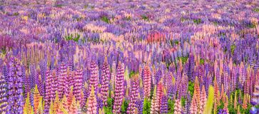 Beautiful and colorful Lupin Flower Field. Ready for background, backdrop, wallpaper.  stock photography