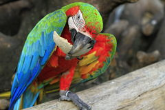 Beautiful colorful macaw parrot eating Royalty Free Stock Images