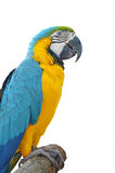 Beautiful colorful maccaw Stock Photography