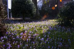 Beautiful colorful magic blooming first spring flowers purple crocus in wild nature field. Sunset sunlight in forest. Horizontal, royalty free stock photo