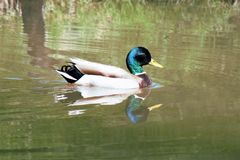 Beautiful and colorful Male Mallard Duck on a pond Stock Photo