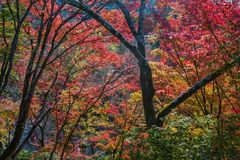 Beautiful colorful maple tree Stock Images