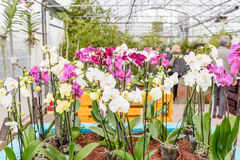Beautiful colorful mix of phalaenopsis orchids Stock Photography