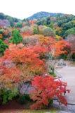 the beautiful colorful momiji maple tree in Autumn season, maple Royalty Free Stock Image