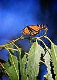 Monarch butterfly leaves. Beautiful colorful orange black monarch butterfly restingbon green leaves royalty free stock photo
