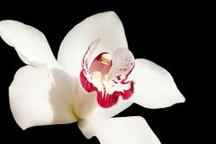 Beautiful colorful orchid close up Royalty Free Stock Photography