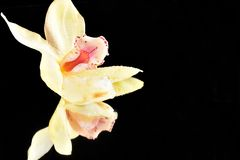 Beautiful colorful orchid close up on the mirror royalty free stock photo