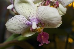 Beautiful colorful orchid close up in my room Royalty Free Stock Images