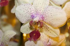 Beautiful colorful orchid close up in my room Stock Image