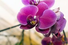Beautiful colorful orchid close up in my room Royalty Free Stock Photography