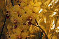 Beautiful colorful orchid close up in my room Royalty Free Stock Photo