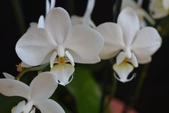 Beautiful colorful orchidea close up royalty free stock photo