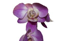 Beautiful colorful orchidea in my garden royalty free stock photography