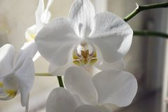 Beautiful colorful orchids close up in the window Royalty Free Stock Photos