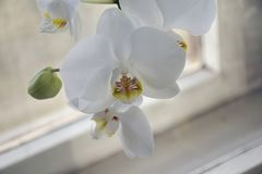 Beautiful colorful orchids close up in the window Royalty Free Stock Image