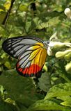 Beautiful And Colorful Painted Jezebel. A close-up picture of the Painted Jezebel butterfly, Delias hyparete metarete, feeding from a flower Royalty Free Stock Photos