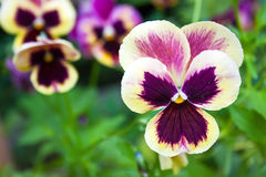 Beautiful colorful pansy Royalty Free Stock Images