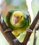 Beautiful colorful parrot Royalty Free Stock Photography
