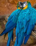 Two Beautiful Blue Parrots Kissing royalty free stock photos