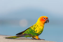 Beautiful colorful parrot, Sun Conure.  Royalty Free Stock Images