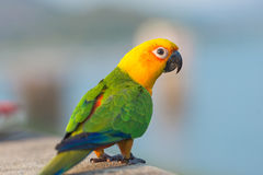 Beautiful colorful parrot, Sun Conure.  Stock Images