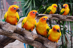 Beautiful colorful parrot, Sun Conure Royalty Free Stock Images