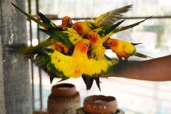Beautiful colorful parrot, Sun Conure Stock Photo