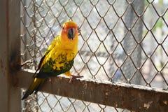 Beautiful colorful parrot, Sun Conure Stock Photography