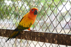 Beautiful colorful parrot, Sun Conure Royalty Free Stock Photography