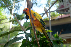 Beautiful colorful parrot, Sun Conure Royalty Free Stock Image