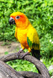 Beautiful colorful parrot, Sun Conure (Aratinga solstitialis), g Royalty Free Stock Image
