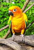 Beautiful colorful parrot, Sun Conure (Aratinga solstitialis), g. Olden-yellow plumage and orange-flushed underparts and face, native bird to northeastern South Royalty Free Stock Photography