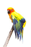 Beautiful colorful parrot, Sun Conure (Aratinga solstitialis), g. Olden-yellow plumage and orange-flushed underparts and face, native bird to northeastern South Stock Photos