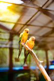 Beautiful colorful parrot, Sun Conure (Aratinga solstitialis), g Stock Images