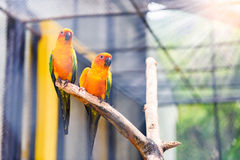Beautiful colorful parrot, Sun Conure (Aratinga solstitialis), g. Olden-yellow plumage and orange-flushed underparts and face, native bird to northeastern South Stock Photo