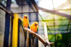 Beautiful colorful parrot, Sun Conure (Aratinga solstitialis). Golden-yellow plumage and orange-flushed underparts and face, native bird to northeastern South Stock Images