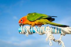 Beautiful colorful parrot, Sun Conure (Aratinga solstitialis) Stock Images