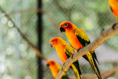 Beautiful colorful parrot, Sun Conure (Aratinga solstitialis), s. Ide profile Royalty Free Stock Image