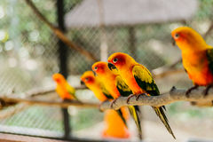 Beautiful colorful parrot, Sun Conure Aratinga solstitialis, s Royalty Free Stock Photos